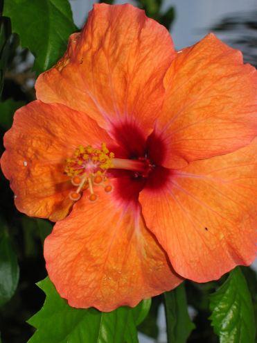 056 hibiscus orange - Copie