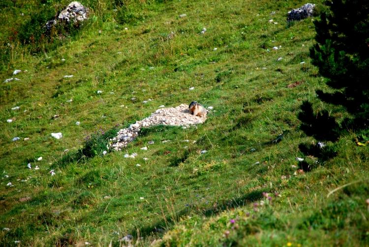 18 marmotte