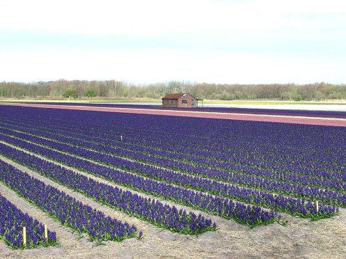 095 champs violets
