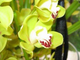 49 orchidée verte